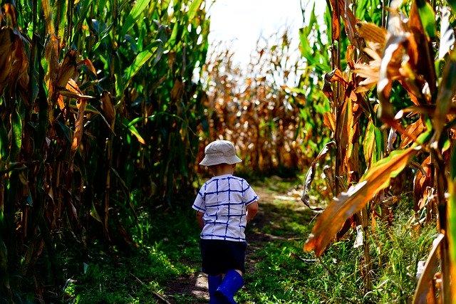 blog Corn Maze